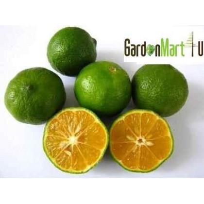 GNC - Calamansi Lime Fruit Tree Anak Pokok Buah Limau Kasturi 桔子