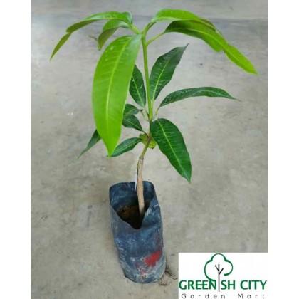 Live Plant Mango Pokok Harum Manis Mangga 芒果树